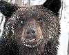 Медведи-шатуны стали выходить к людям из тайги в Иркутской области