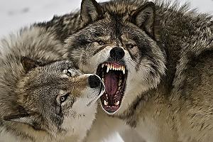 В Архангельской области волки заходят в населённые пункты и режут собак