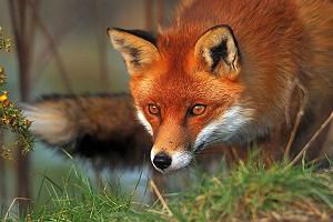 В Забайкалье разрешили отстрел волков и лисиц